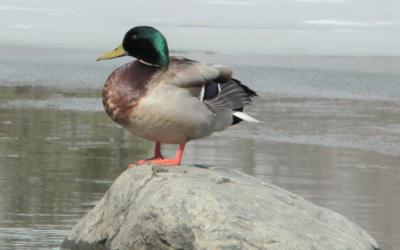 Dans le cadre du concours de l'emblème aviaire de Contrecœur: on vous présente le canard colvert!