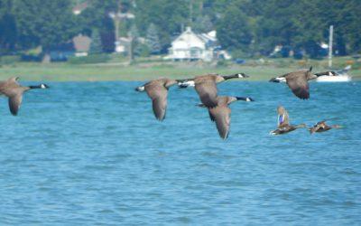 Venez en apprendre davantage sur la Zone Importante pour la Conservation des Oiseaux des îles de Contrecoeur!