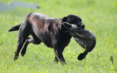Épreuves de chasse pour rapporteurs à Calixa-Lavallée les 3 et 4 août: découvrez les prouesses des chiens rapporteurs