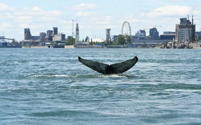 Une baleine dans le Fleuve
