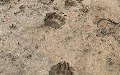 Ville de Contrecoeur: un ours de passage